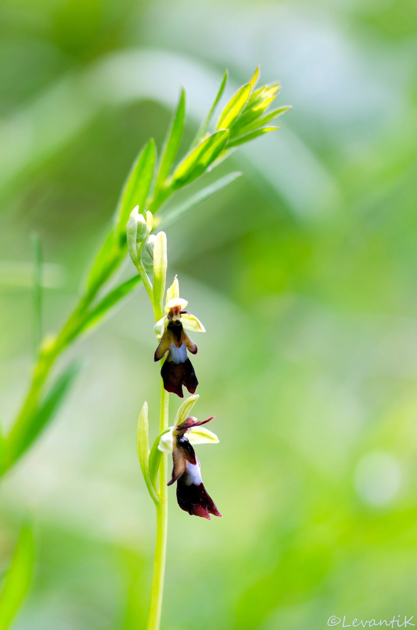 Ophrys mouche - ophrys insectifera (6)