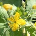 La chélidoine ou herbe aux verrues