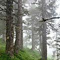 Un bosquet de pins à crochets, pinus uncinata...