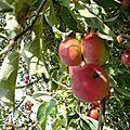 Pommes et tomates cerise