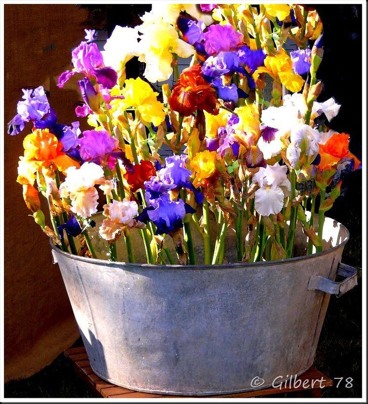 Iris en mélange