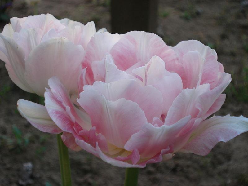 Tulipe