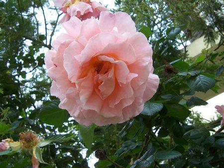 _rose_1_