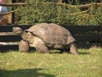 Tortue_g__ante_des_galapagos_9