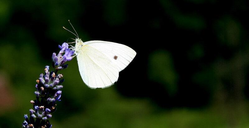 papillons-de-france-25d0af10-4991-4b7a-a0ed-cd1b9e47844b