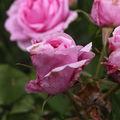 Rose Comte de Chambord-04