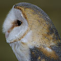 Aves - effraie des clochers - tyto alba