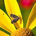 Choreutidae