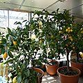 22 avril - des citrons et des citronniers......
