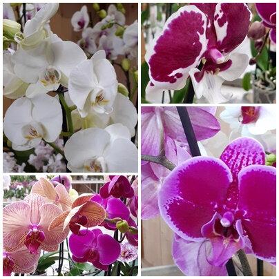 Orchidées (16)
