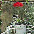 Bulbul orphée (pycnonotus jocosus) - merle maurice