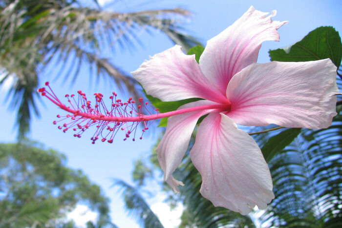 Hibiscus-Color-Meaning