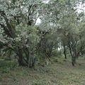 73 Chêne truffier au Chameau