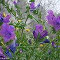 8856-Echium-plantagineum