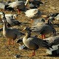 Oiseaux de Qinghai Hu