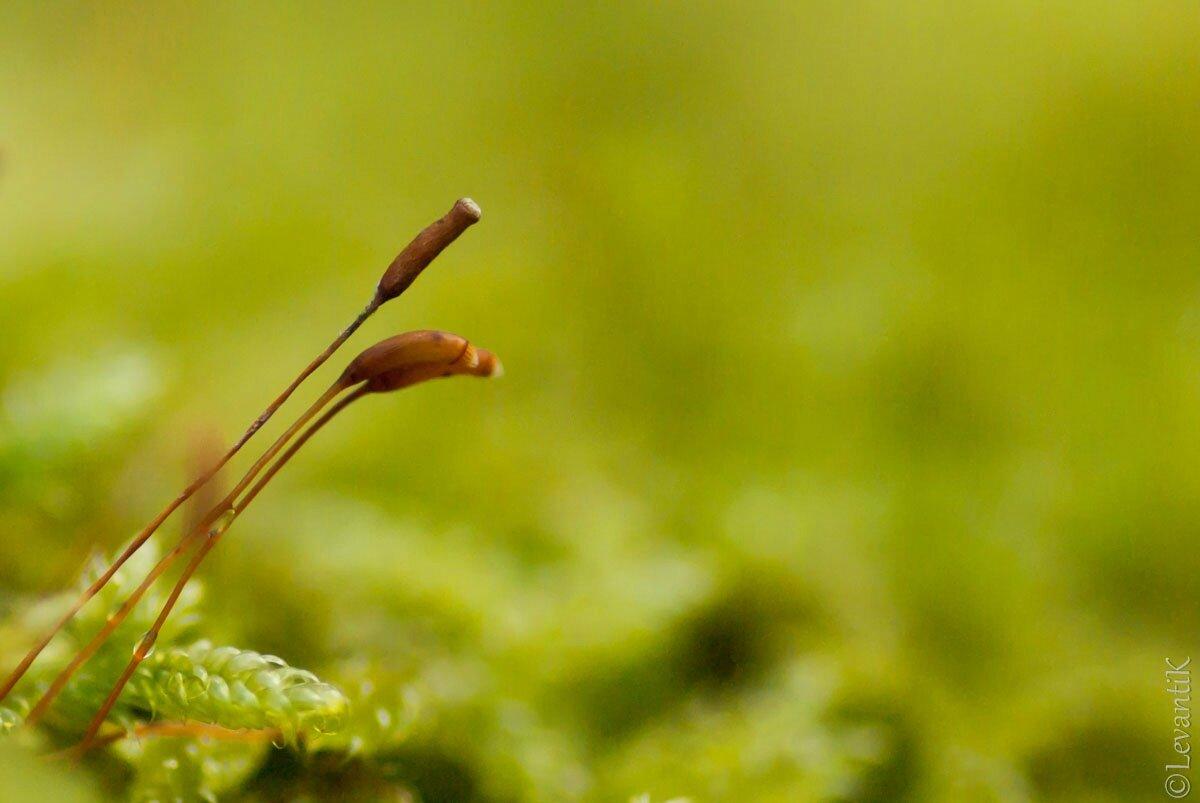 Sporophyte de mousse (bryophyte)