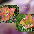 balanicole_2016_05_avril tulipes_63_délicatesse
