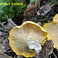 Cantharellus pallens 2