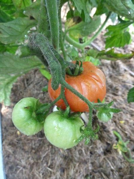 01-tomates serre (24)