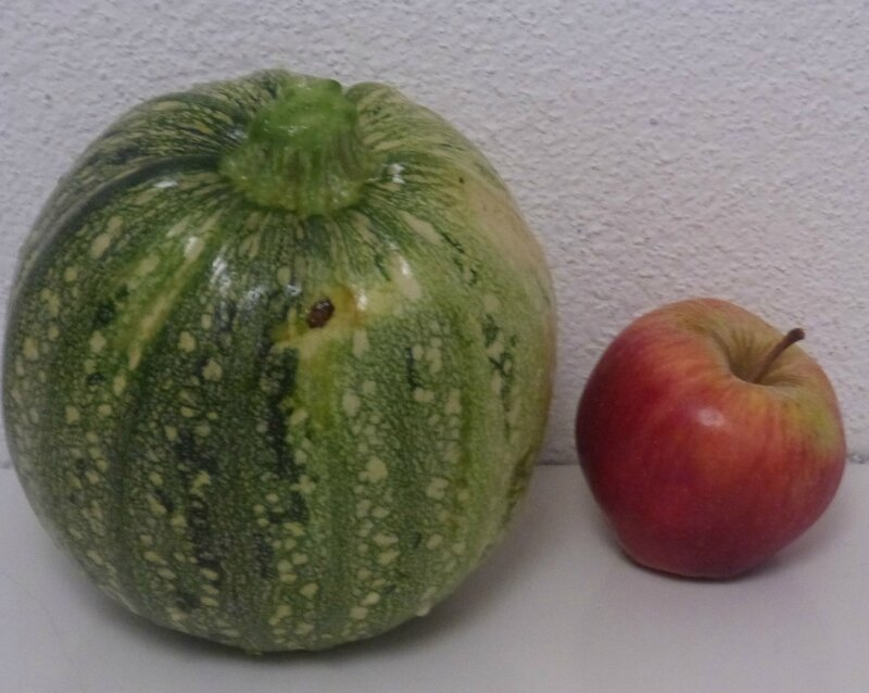 enorme courgette ronde
