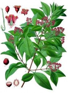 branche et fleur de santal