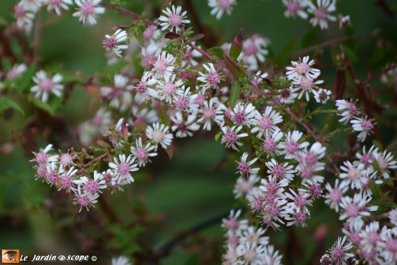 Aster-Lady-in-Black