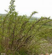 Corroyère à feuilles de myrte5