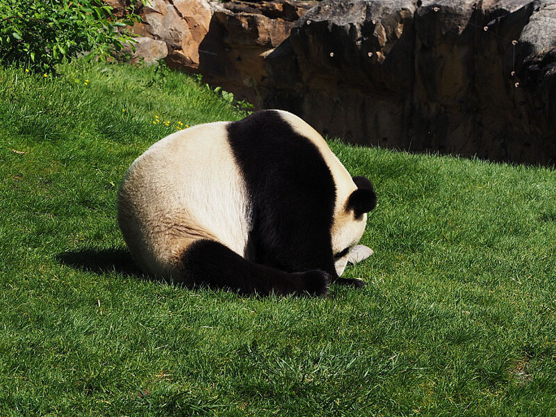 zoo-beauval-animaux-panda-17