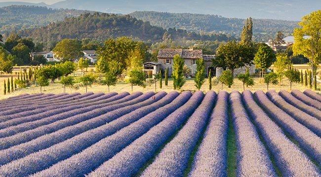 champs de lavandenet