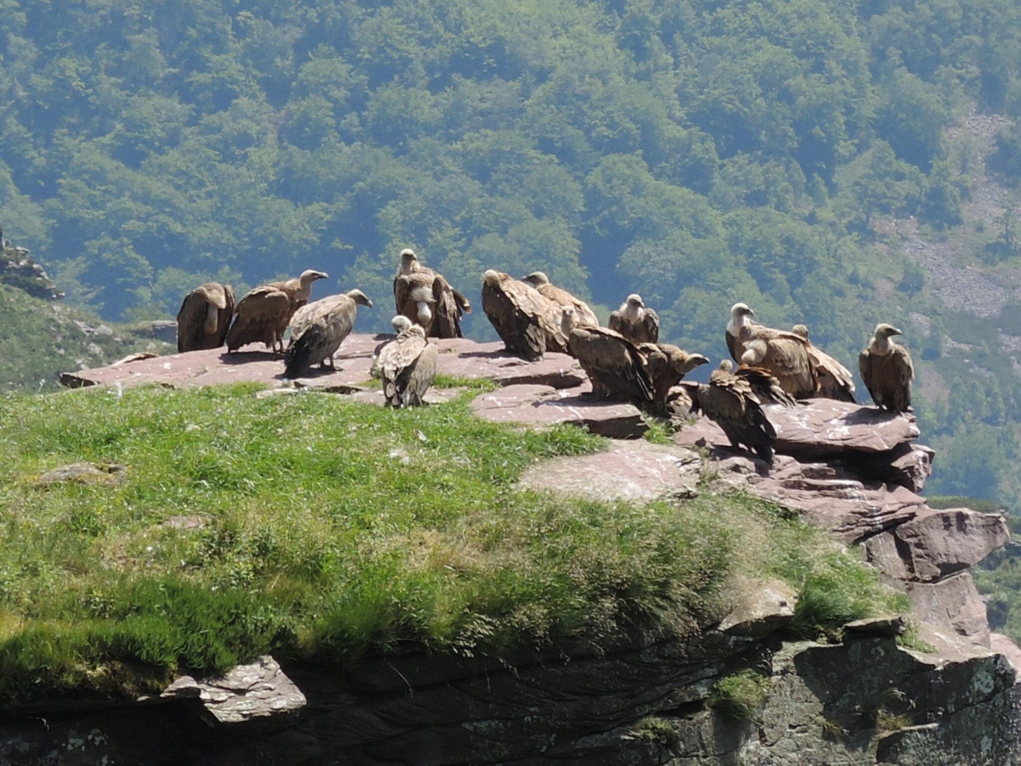 Penas d'Itxusi, falaise des vautours, vautours, profil droit (64)