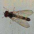 Ces mouches héliophiles ont quelques sosies déroutants...