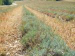 Un champ de lavande après la récolte