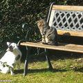 Chat domestique • Felis silvestris catus • Felidae