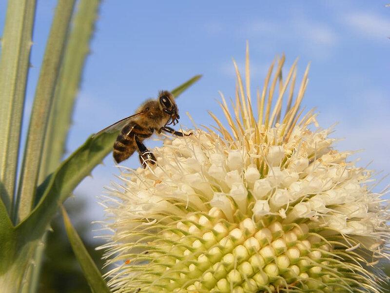 bee-close-up-cutleaf-dipsacus