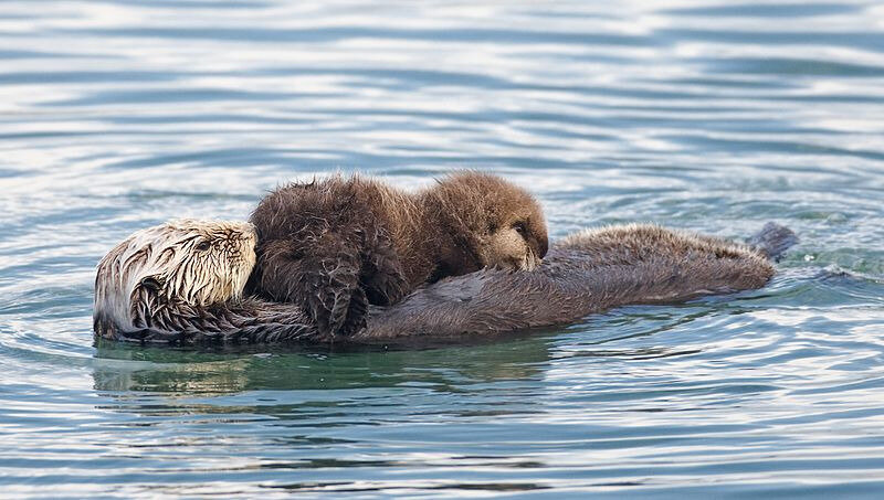 Sea_otter_nursing02