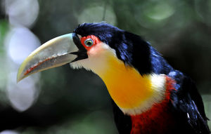 toucan_ventre_rouge__1_