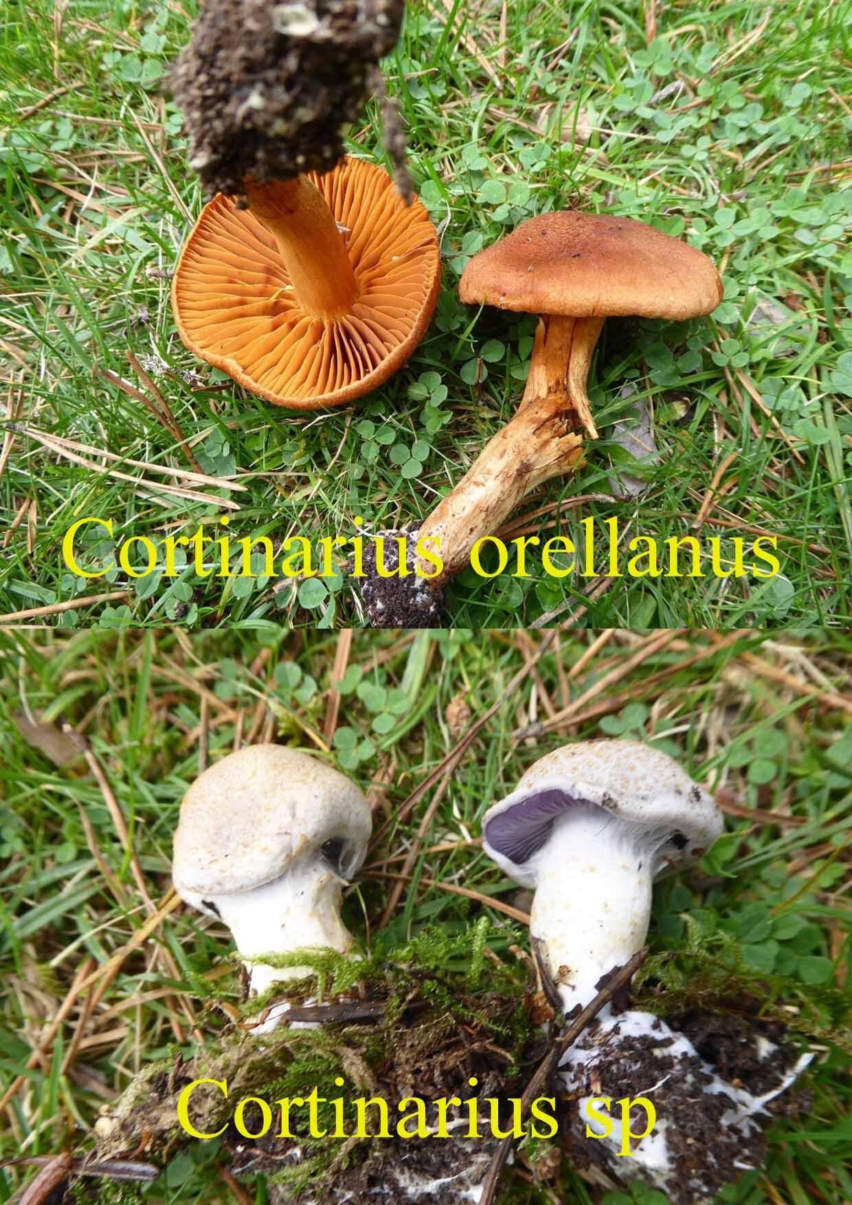 Orellanus + sp