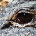 larme de crocodile ?