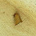 Malacosoma neustria, (Livrée des arbres, Bombyx à livrée, Bombyx à bagues)
