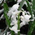 jacinthe blanche enneigée