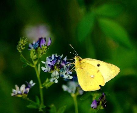Papillon_jaune_vouthon_aout_2008__2_