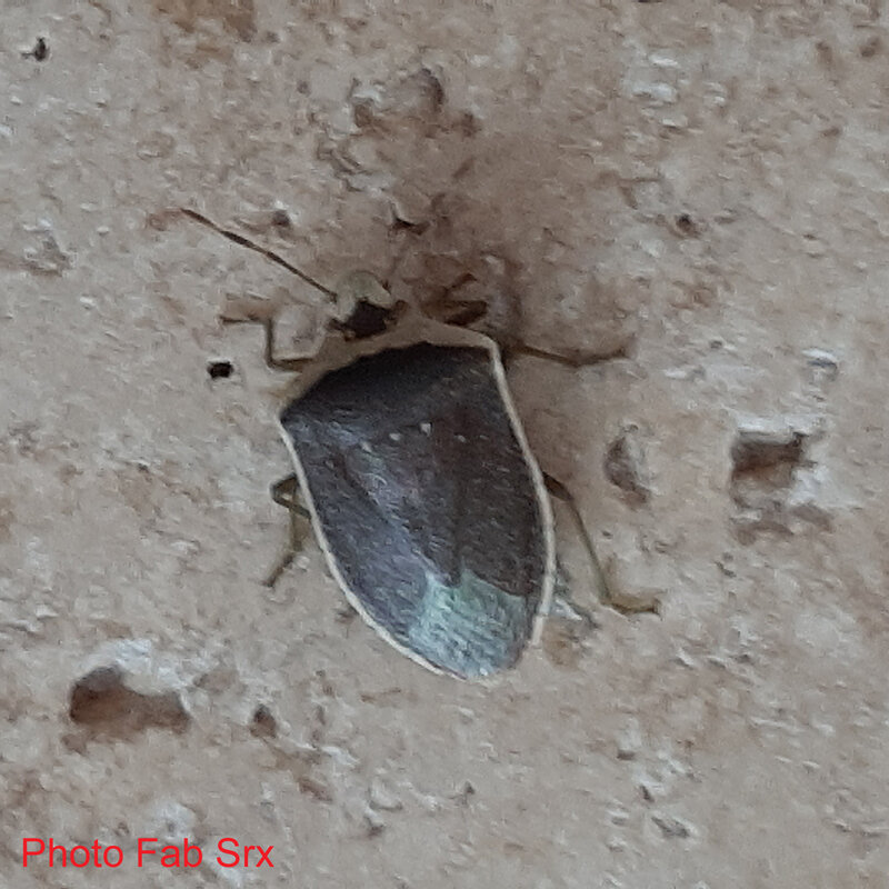 Nezara-viridula-torquata-3