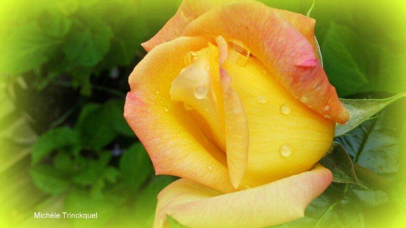 Bouton de rose 2