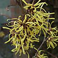Hamamelis x intermedia 'anne'