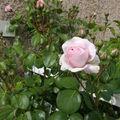 boutons de roses 2