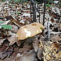 Cèpe d'été adulte sur lit de feuilles...