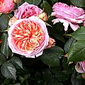 rose anglaise