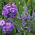 Scutellaria incana et phox paniculata 'blue paradise'