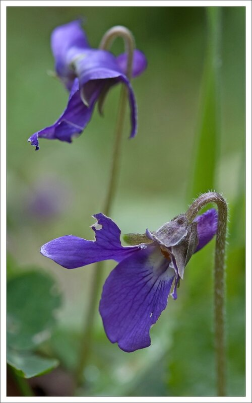 violette 2 010214