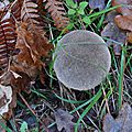 Calvatia excipuliformis (1)